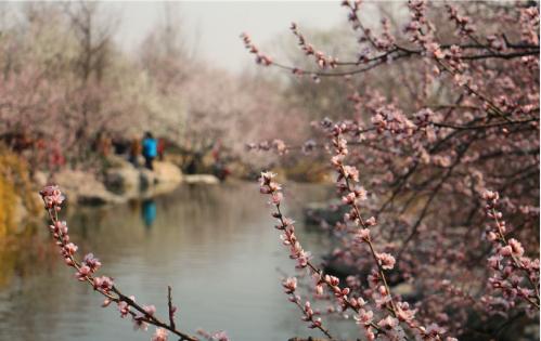 植物园桃花节