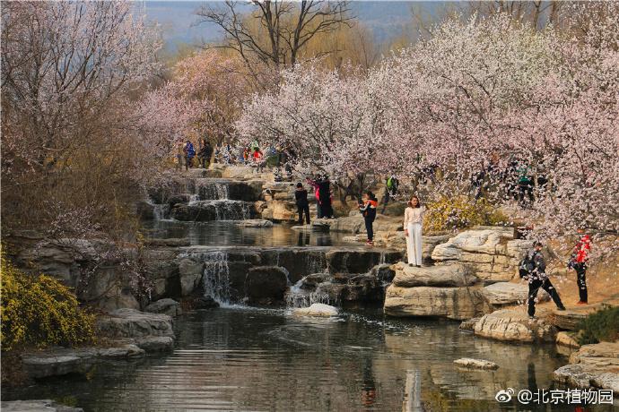北京哪能看到山桃花?3月北京植物园玉渊潭公园进入观赏期