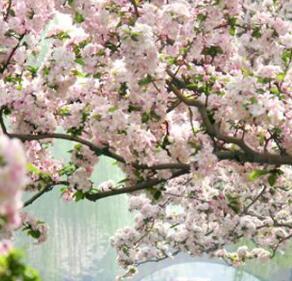 元大都海棠花节