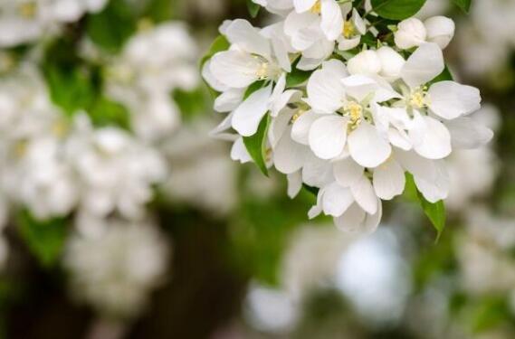 北京大兴梨花节