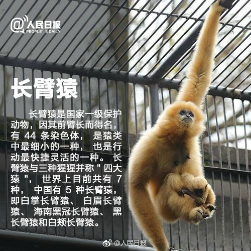 中国十大动物国宝   大熊猫是一种以食竹为主的食肉目动物,不仅集珍稀