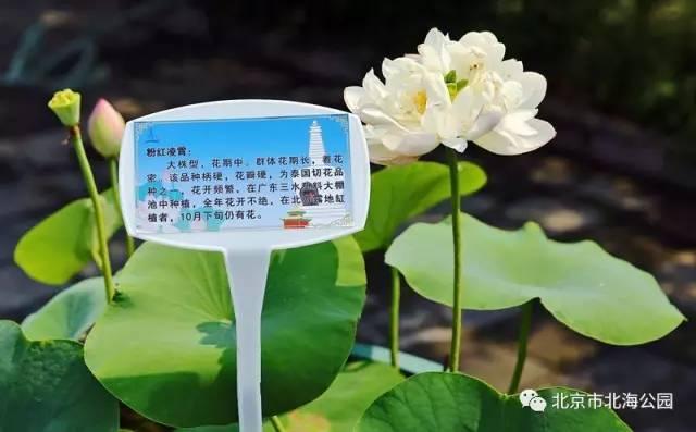 2017北京北海公园荷花展(活动时间+门票+看点)
