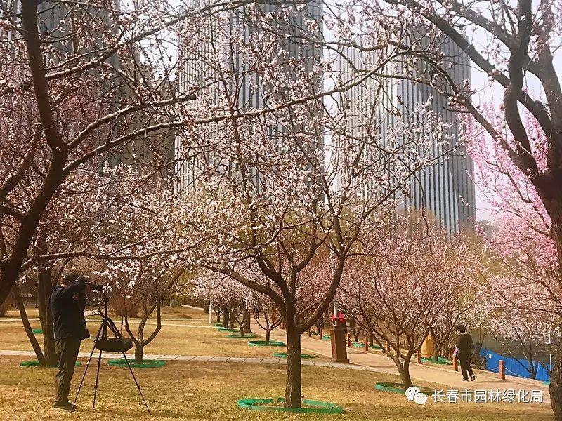 长春公园桃花、杏花盛放 五一快来赏花吧