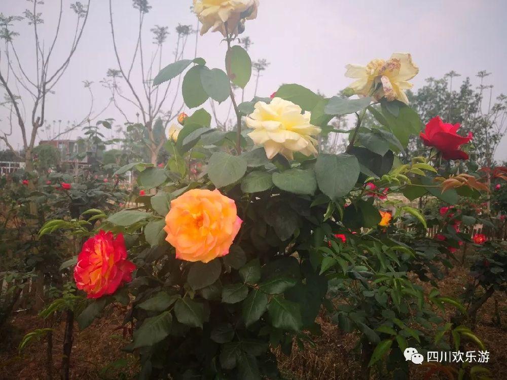2019五月成都崇州七彩玫瑰庄园福利介绍