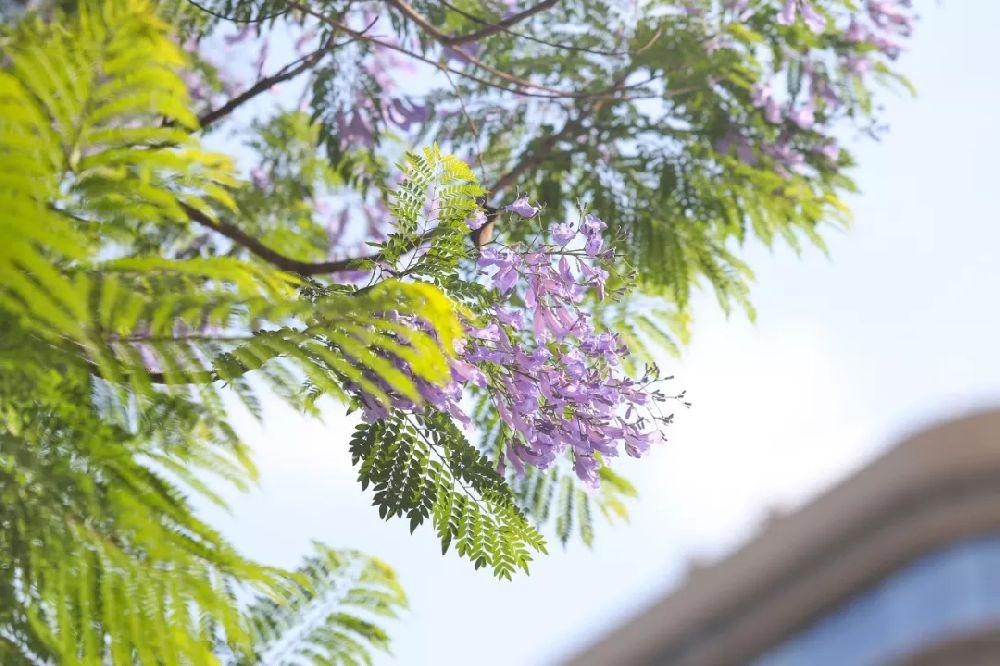 成都武侯区最佳赏蓝花楹的地方是哪儿?