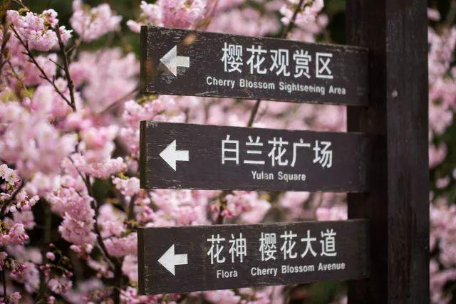 2018南山樱花节