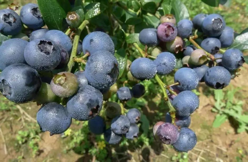 2019重庆巴南区蓝莓采摘地点推荐(价格、路线)