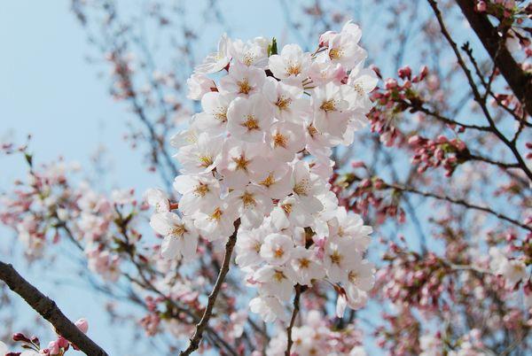 大连赏樱花的地方推荐