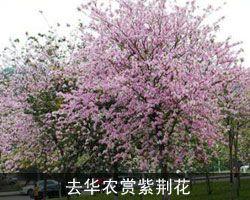 华农再办紫荆花节
