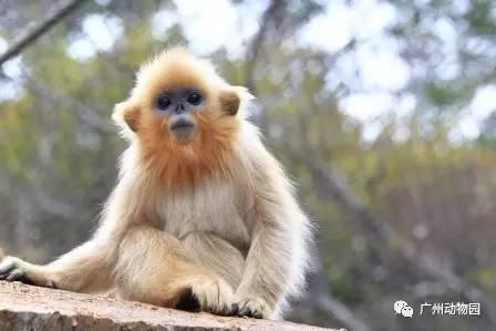金丝猴子是什么颜色_2017广州动物园川金丝猴生日会时间及活动信息一览