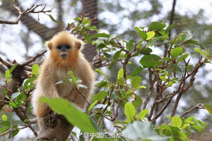 广州动物园小川金丝猴