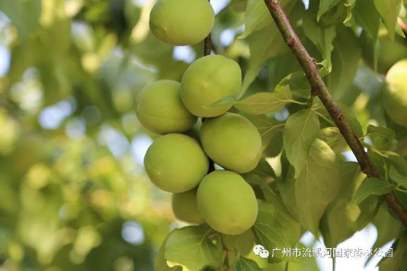 2018广州流溪河国家森林公园首届青梅节