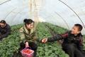 武汉东西湖摘草莓一日游推荐