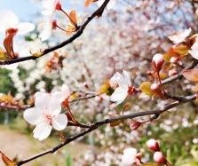 天坛公园赏花