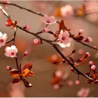 大连赏樱花