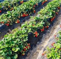 孟津草莓嘉年华