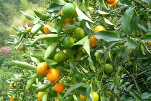 武汉摘橘子的地方大盘点