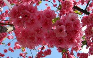 武漢看櫻花好去處