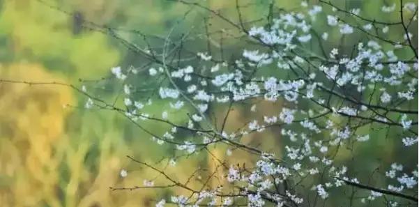 金华赏樱花(地点+ 路线)