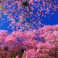 2017新平樱花节时间、地点及活动详情
