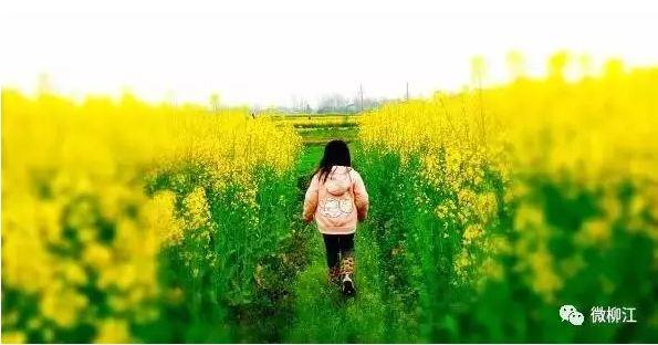 柳州市赏花之油菜花