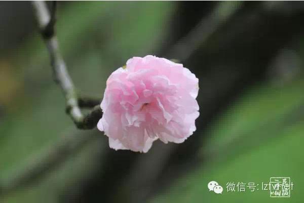 柳州市四月份赏花推荐