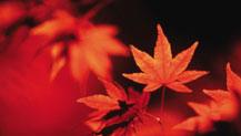 八达岭红叶最佳观赏期