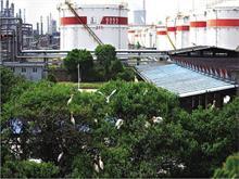 千只白鹭栖息镇海炼化树林