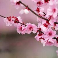 2017海灣森林公園梅花節時間+門票+交通