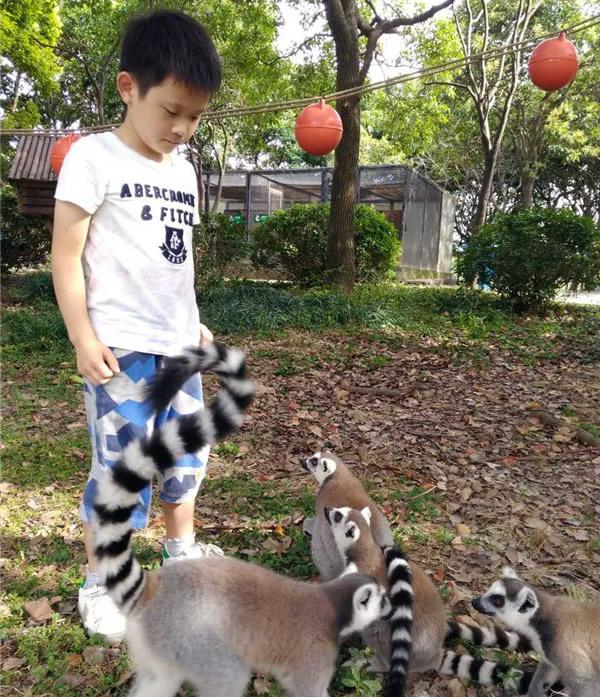 上海野生动物园开启夜游模式 老虎旁边晚餐 喂节尾狐猴早餐