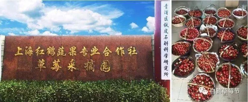 2019年上海白鹤草莓采摘季来临|附采摘攻略