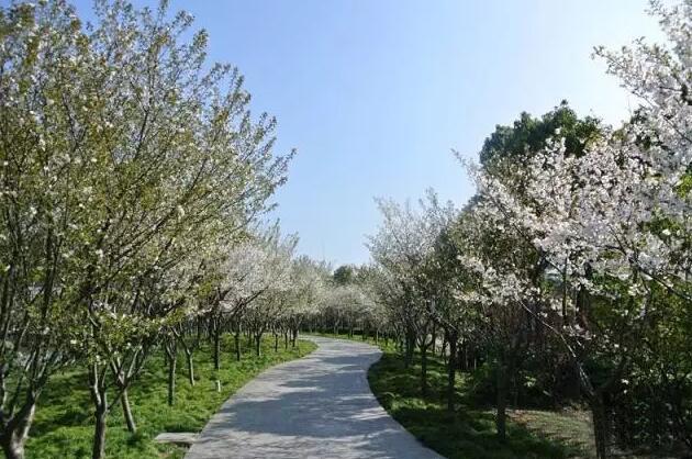 上海赏樱全攻略 | 最佳赏花期+ 赏花地