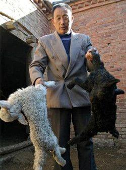 小羊羔无一幸免