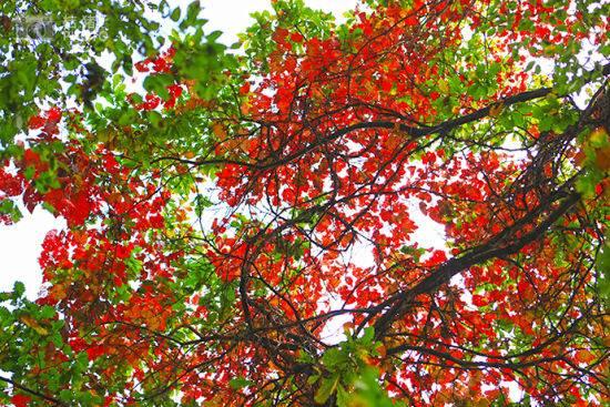 漂亮的红叶