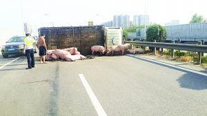 石家庄高速上运猪货车侧翻 几十头猪大闹高速