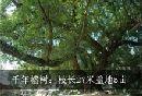 千年榕树:枝长27米盖