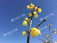 周末两天北京晴暖腊梅开放  告诉你去哪