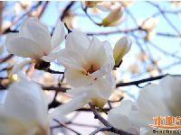 2017北京3月赏花的好地方 最美的玉兰花