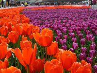 2019世界花卉大观园郁金香文化节4月开展