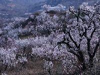 2019北京平谷北寨杏花海赏花季(花期+路