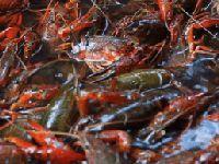2018年长沙县专业钓龙虾的地方推荐