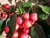 鄂尔多斯土特产海红子