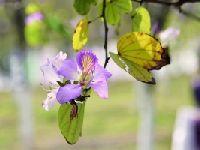 2017广州紫荆花观赏效果欠佳 都是暖冬和
