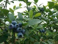 蜀景生态园2017年7月已开园 蓝莓采摘好