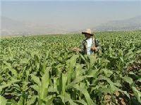 沧源指导和组织农民搞好田间管理