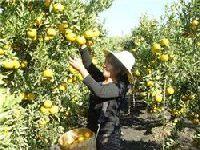 耿马华侨管理区千亩柑橘喜获丰收