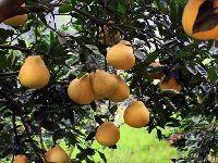 柚子之乡 护国沙田柚