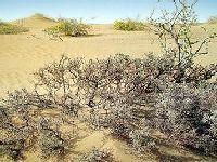 四合木草原化荒漠的群种之一