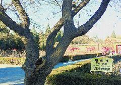 北京景山公园古树各有传说,您知道吗?