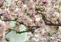 2017北京元大都遗址公园海棠花节活动时间、门票及看点
